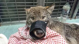 Uratowali psa z rzeki. Okazał się wilkiem