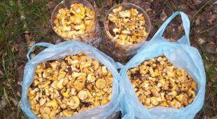 Reporter 24 zebrał kilogramy kurek w Puszczy Bydgoskiej