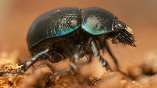 """Podwójny """"antynobel"""" za badania nad żukiem, który wypatruje Drogi Mlecznej"""
